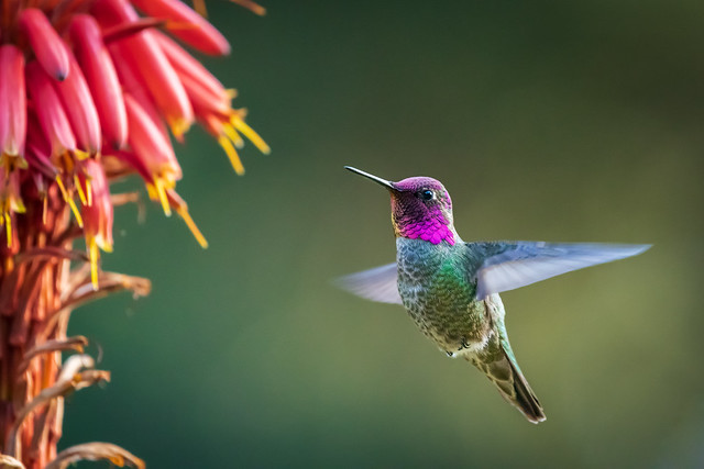 Anna's Hummingbird - Nectar lunch time 🌺