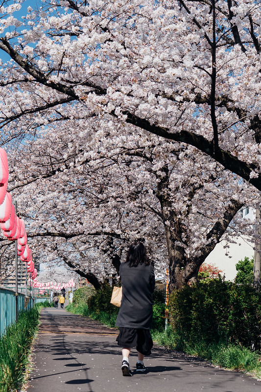 CherryBlossoms7_13