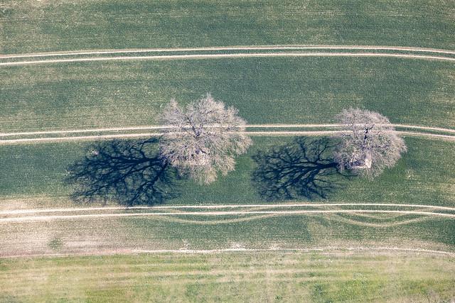 Leafless Oaks