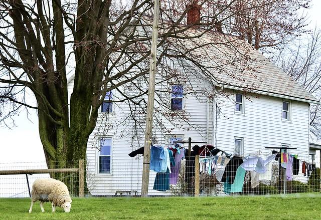 farmhouse & sheep