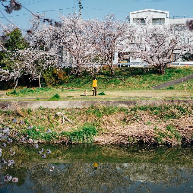 CherryBlossoms8_06