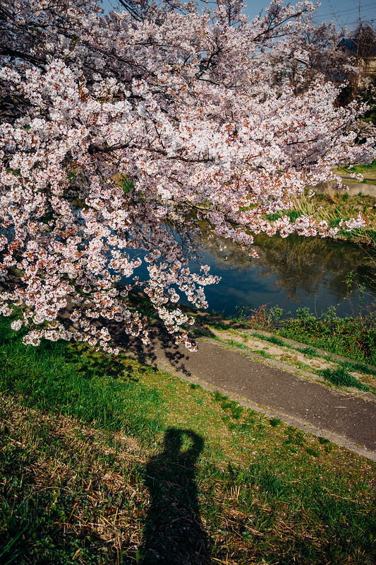 CherryBlossoms8_02