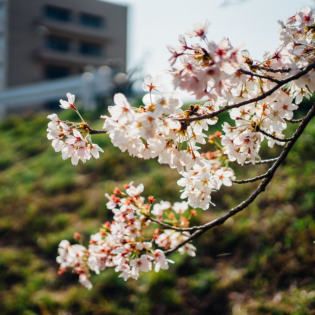 CherryBlossoms8_01