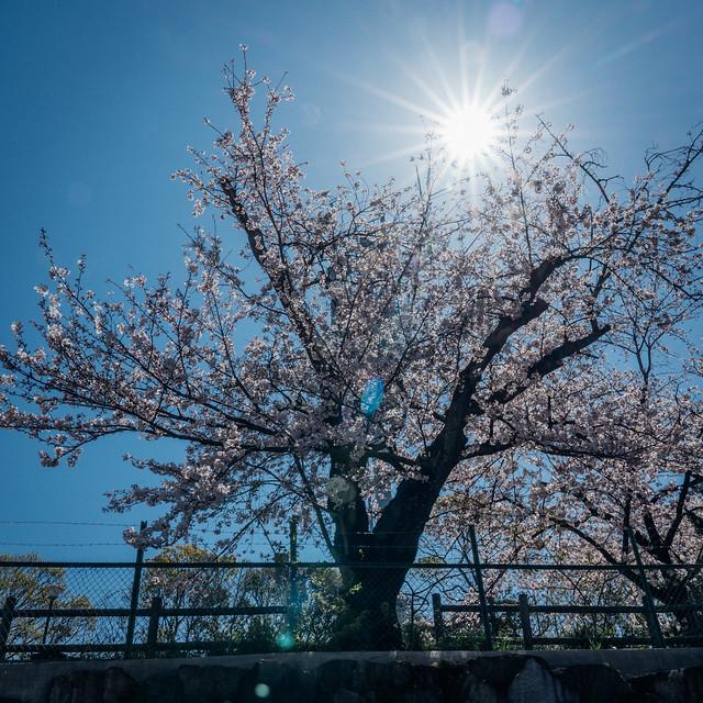 CherryBlossoms7_14-1