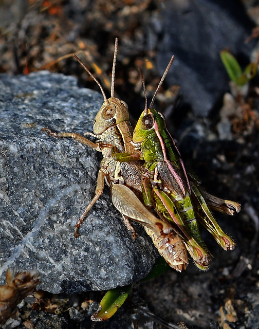 1592 Grasshoppers mating Wellington South Coast Te Kopahou Reserve 26-02-20