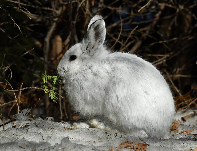 Lièvre d'Amérique - Snowshoe Hare