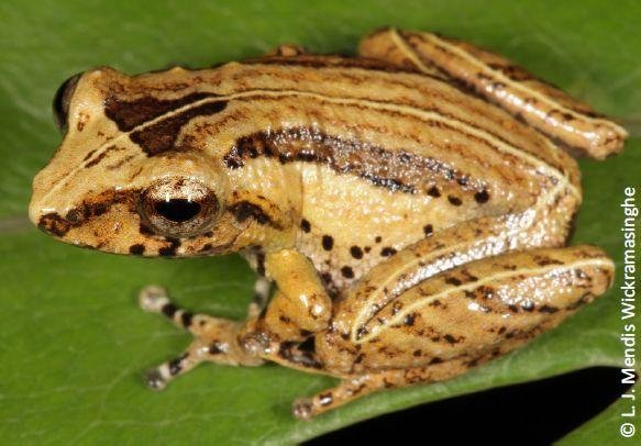 無網灌木蛙(Pseudophilautus hypomelas)