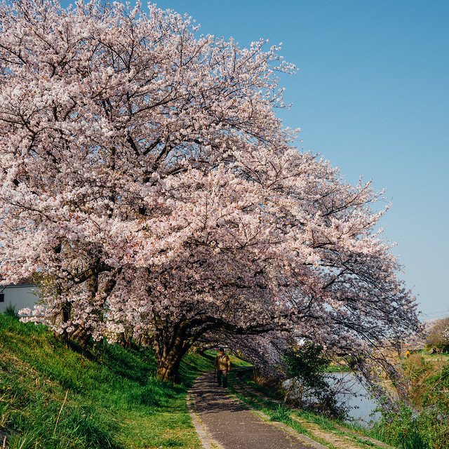 CherryBlossoms8_07