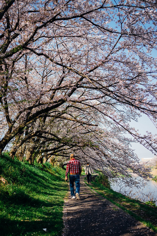 CherryBlossoms8_05