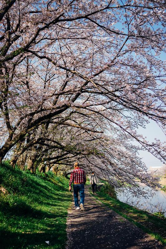 CherryBlossoms8_05