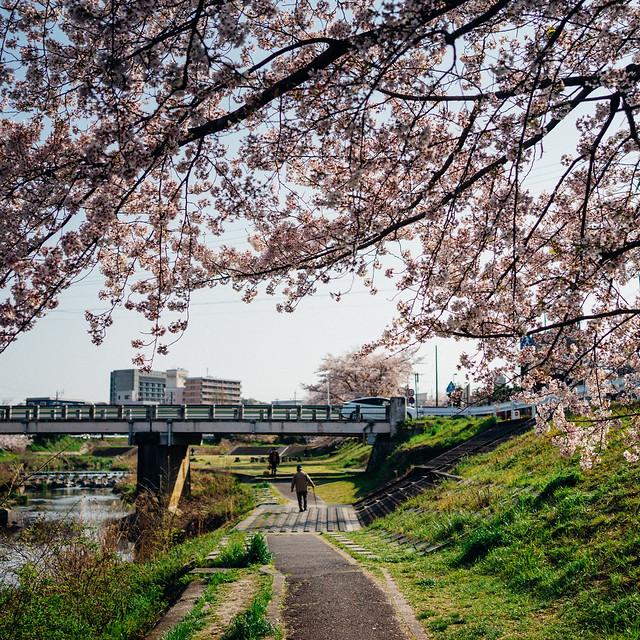 CherryBlossoms8_04