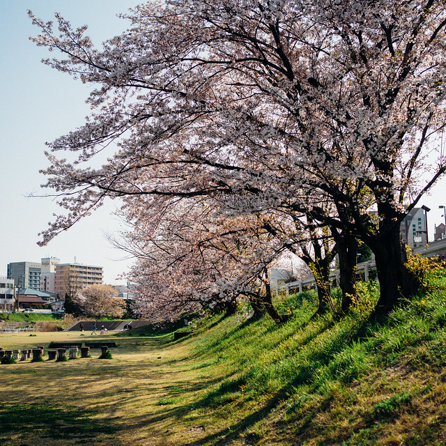 CherryBlossoms8_03