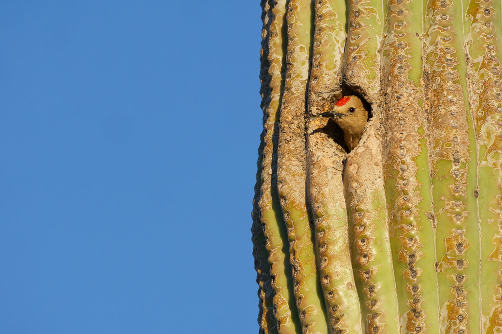 A male Gila woodpecker peeks out of a saguaro at McDowell Sonoran Preserve in Scottsdale, Arizona on May 28, 2019. Original: _DSC5286.arw