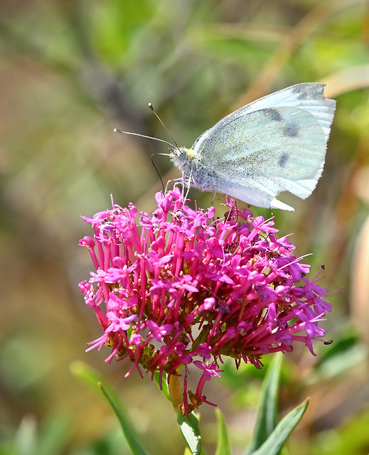 1546 White butterfly on magenta flowers Wellington South coast Te Kopahou Reserve 02-03-20