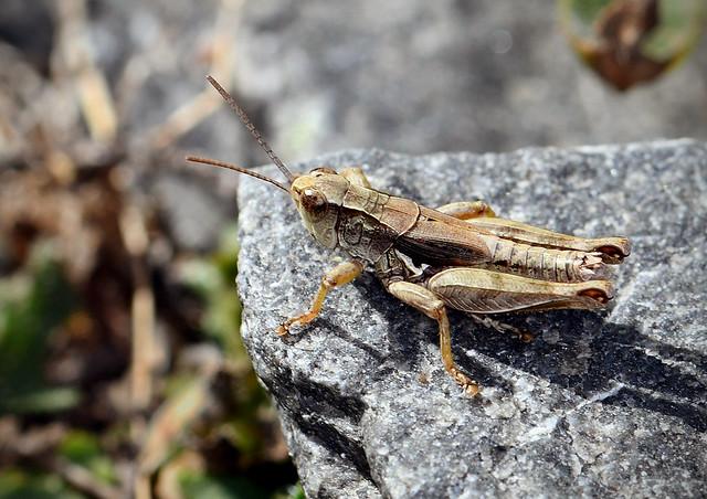 1561 Grasshopper Wellington South Coast Te Kopahou Reserve 26-02-20