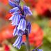 Hyacinthoides, 3.27.20