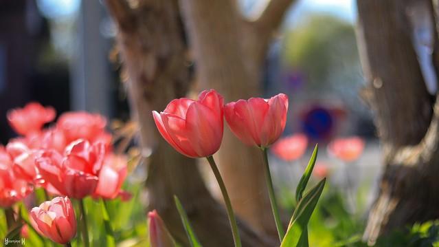 Tulipe - 8271