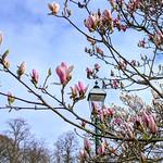 Magnolia in Avenham Park, Preston
