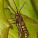 Cuckoo bee (Nomada sp.)
