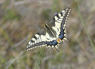 Swallowtail (Papilio machaon) | by celerycelery