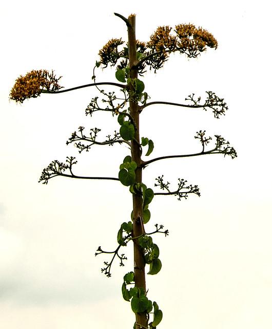 Euphorbia & Vine