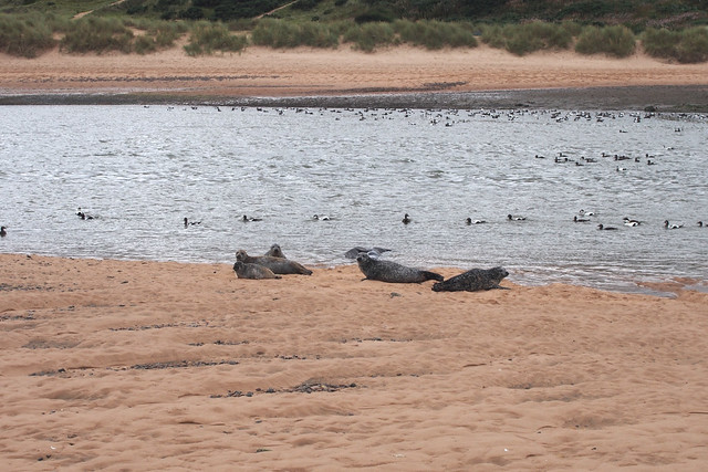 Seals at Forvie National Nature Reserve