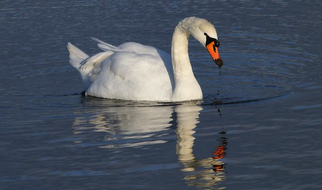 Mute Swan 100120 (1)