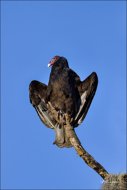 Turkey vulture have found perfect place to warm up in the morning when Sun is rising