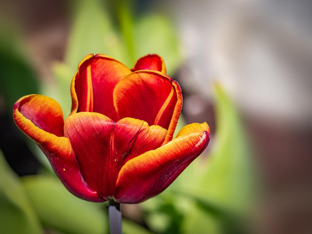 Éclatante tulipe... 49749515448_43fc23fb9e_b