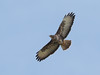 One of five Buzzards soaring over Stoke Park, Bristol
