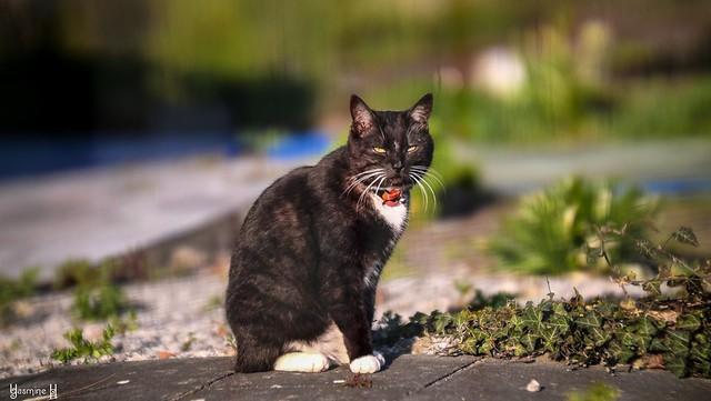 Black Cat - 8272