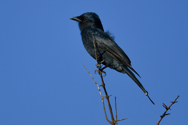 Fork-tailed Drongo, the mimicking expert