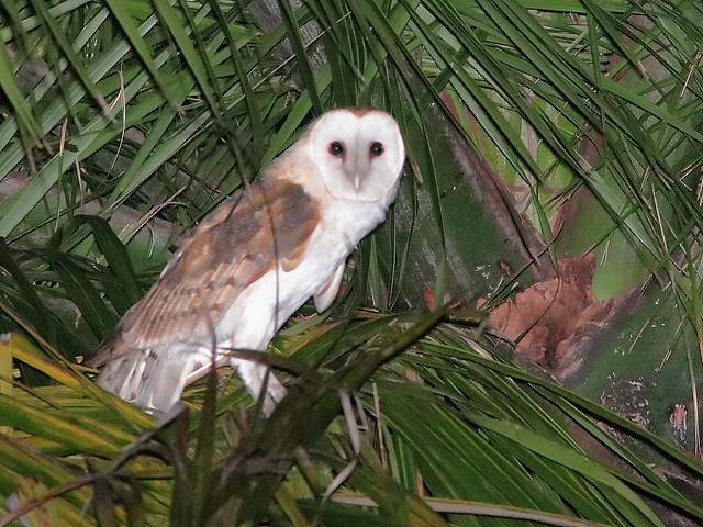 Barn Owl 02-20200408