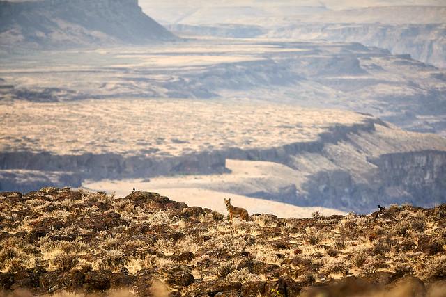 Coyote and Magpies at Ancient Lake