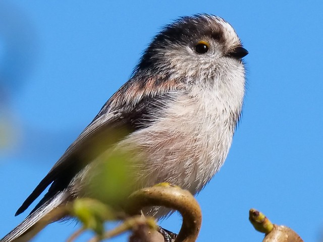 Close up Long-tailed Tit