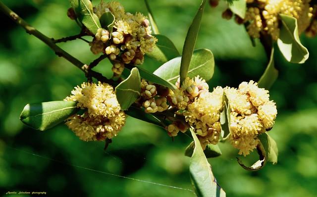 Laurus Azorica o Macaronesia Laurel