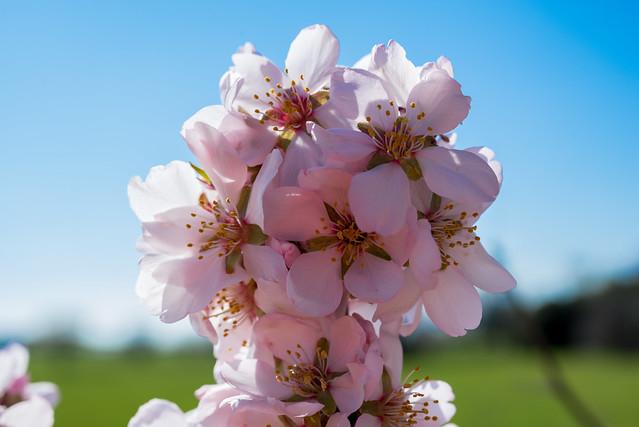 DAV_0404L Almond blossoms