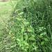 Sida rhombifolia - Arrowleaf Sida