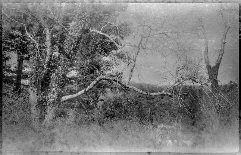 tree forms, ivy, lichen, Biltmore Estate, Asheville, NC, Kochmann Korelle folding camera, Rera Pan 100S, HC-110 developer, late March, 2020