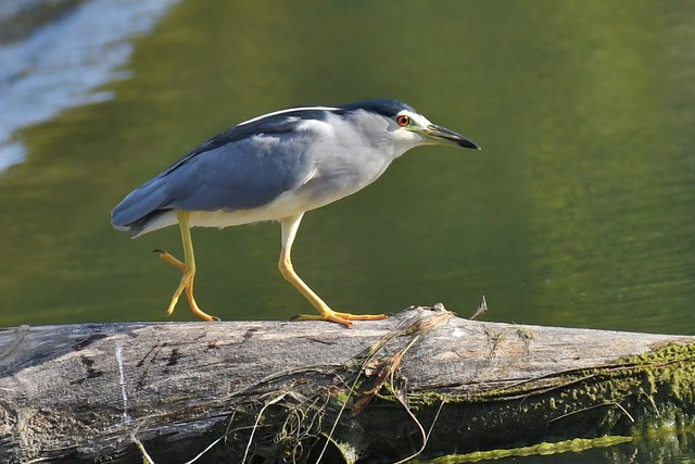 Bihoreau gris - Nycticorax nycticorax - Black-crowned night heron
