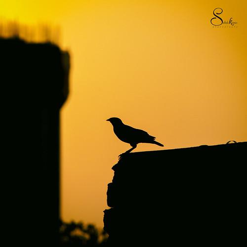 mychennai sillhoute black sun sathishkumarphotography sathishfotography sathishphotography sunset orange orangesky nikon nikondslr nikond750 nikon55300mm chennai mugappair tamilnadu bird pigeon longshot