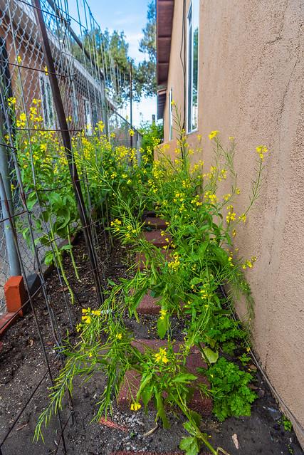 Flowering Mustard Veggies in Our Home Garden