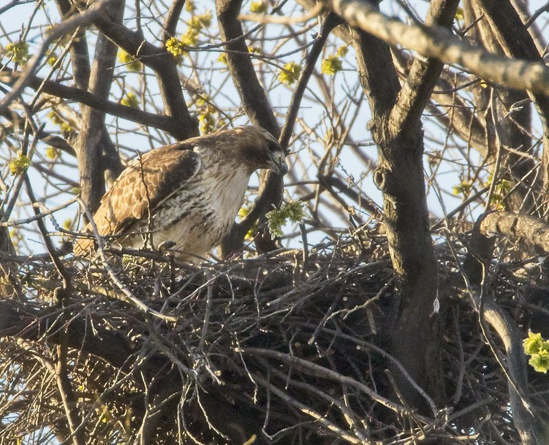 Amelia brings a fresh bud of leaves to the nest
