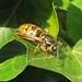 wasp - garden 2020 IMG_8272