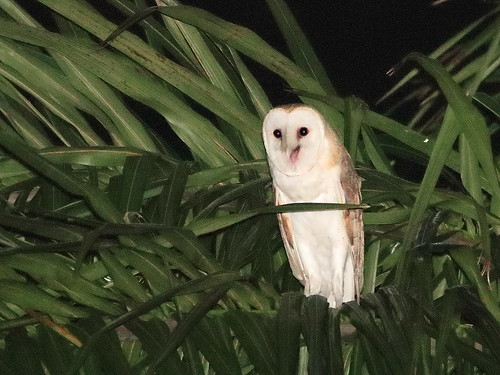 Barn Owl 03-20200408