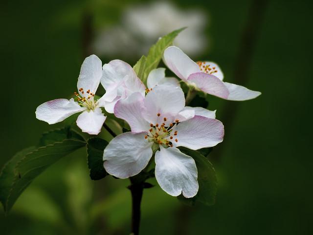 Apple saplings