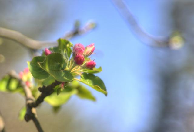 My Appletree
