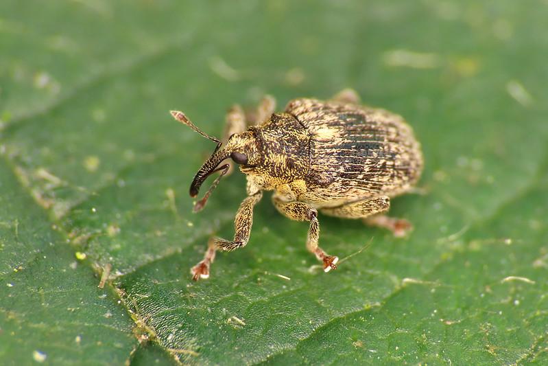 Cabbage Stem Weevil - Ceutorhynchus pallidactylus