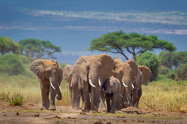 Elephants walking from the foothills of Mt. Kilimanjaro to the watering hole in the morning at Amboseli National Park, Kenya, East Africa
