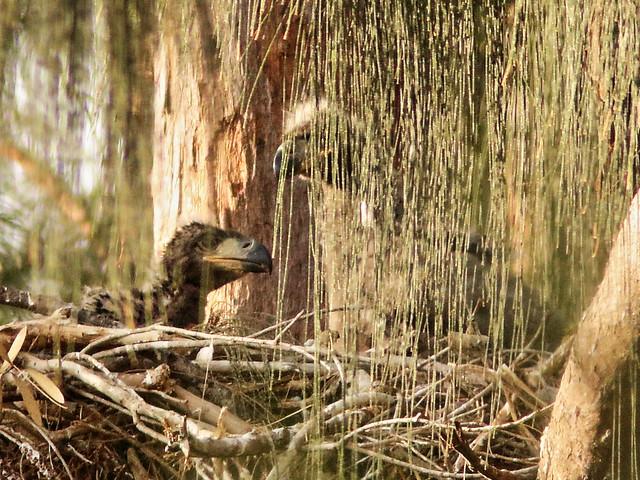 Bald Eagle eaglets 04-20200408